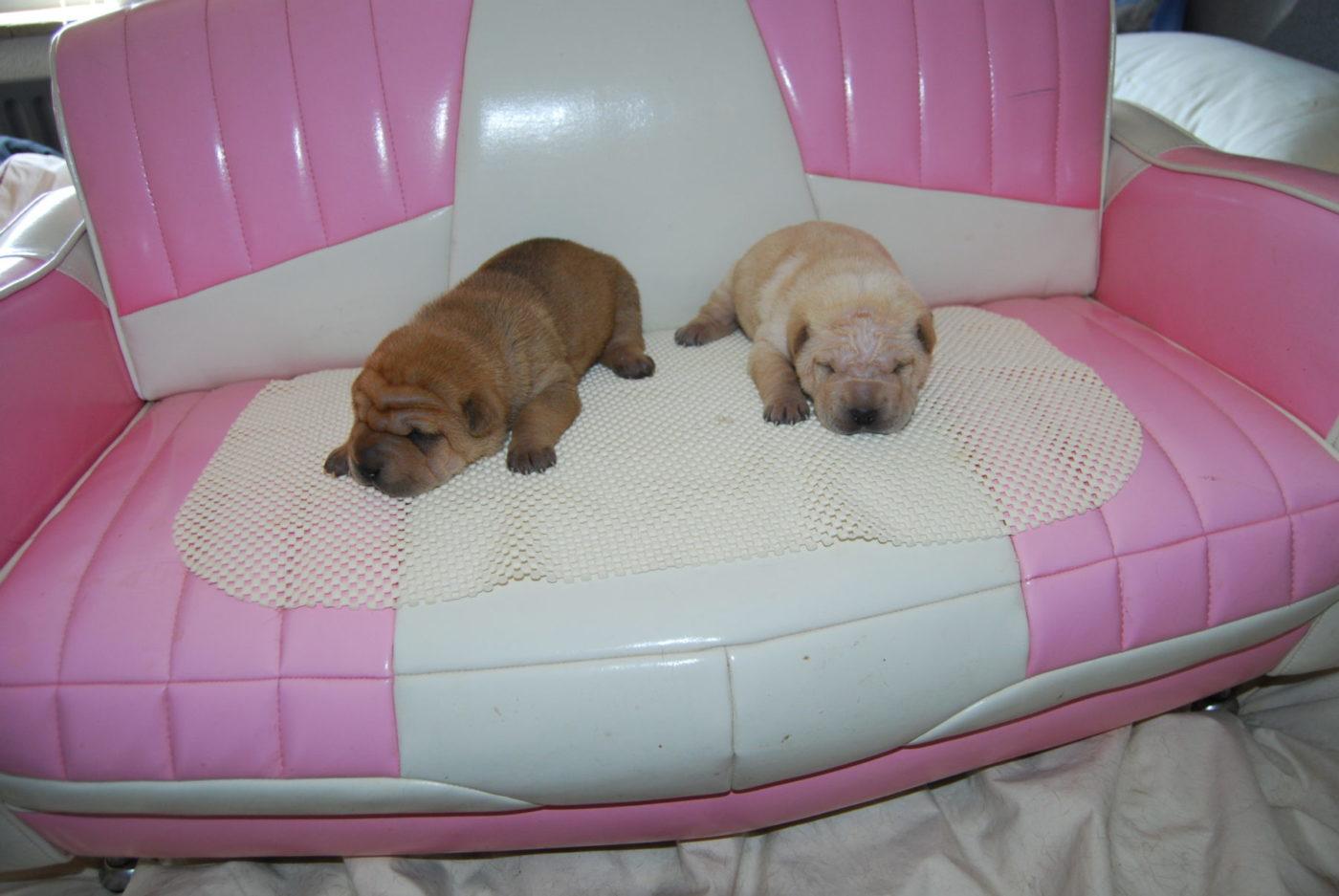 sharpei pups 4