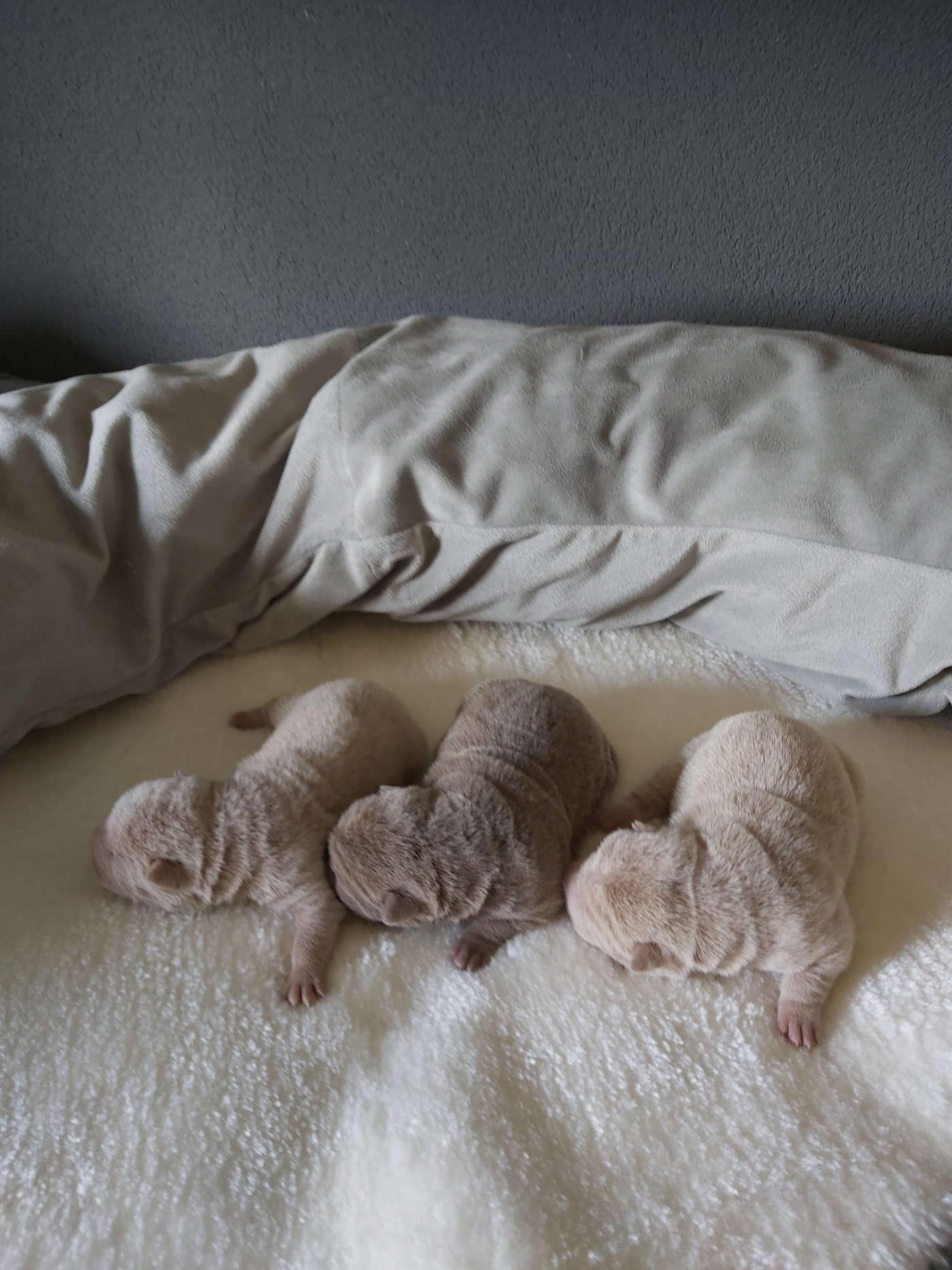 sharpei-pups-29-3-21 11